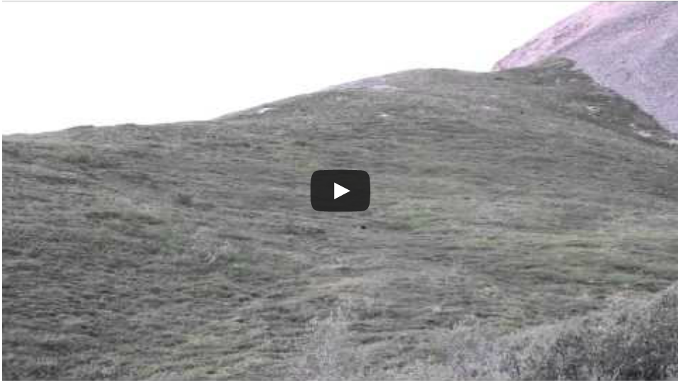 Grizzly Bear Rolls Down a Hill in Denali National Park